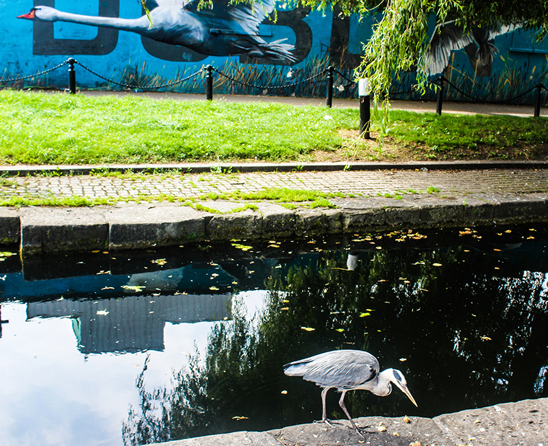 Heron by the Royal Canal in Dublin